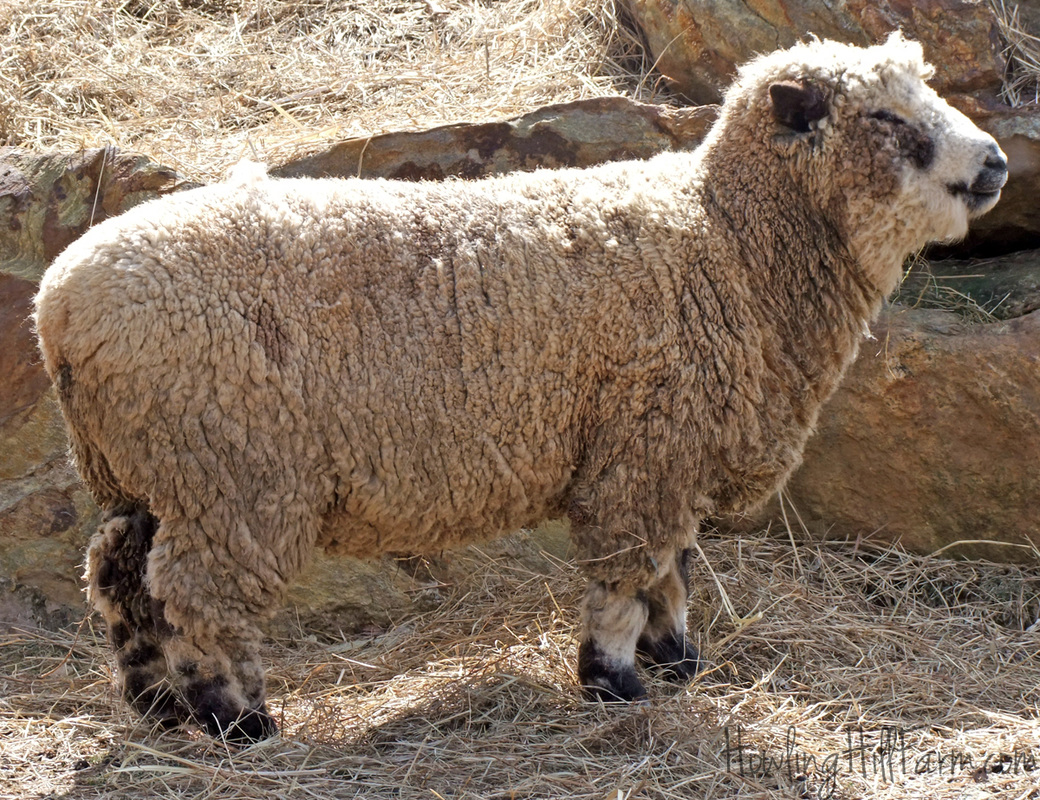 Spotted Babydoll Southdown ram