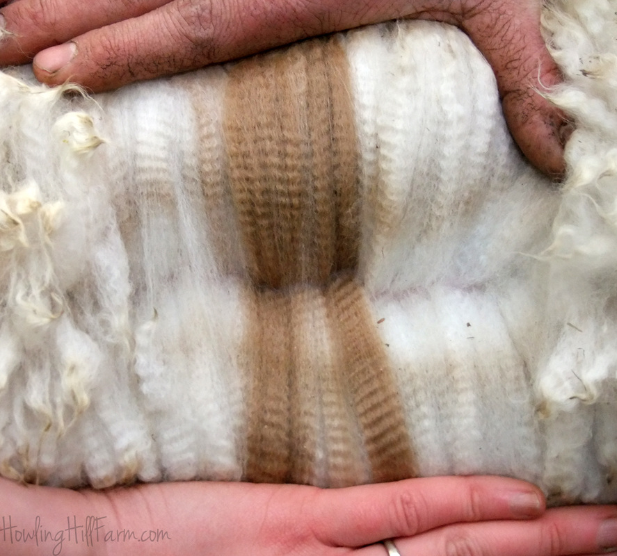 Elite Appaloosa Alpaca Fleece